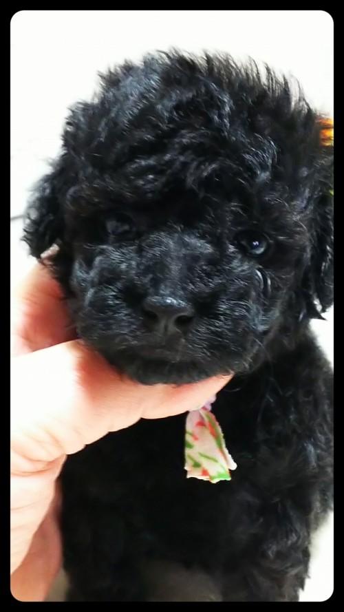トイプードルの子犬(ID:1265411025)の1枚目の写真/更新日:2017-10-30