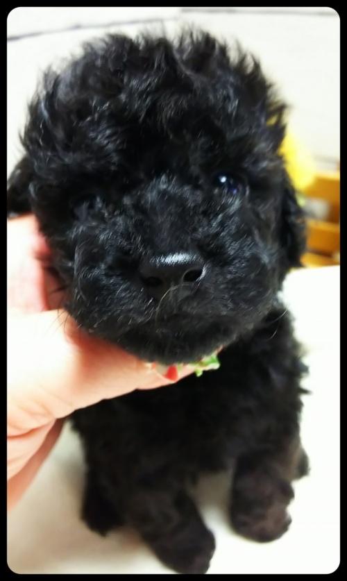 トイプードルの子犬(ID:1265411025)の2枚目の写真/更新日:2017-10-30