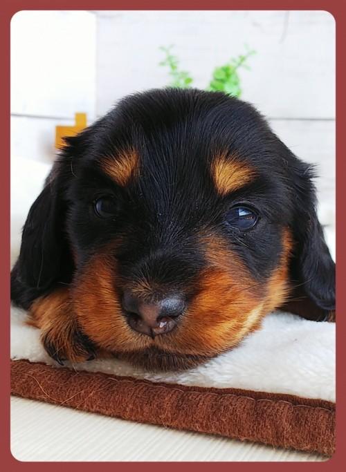 ミニチュアダックスフンド(ロング)の子犬(ID:1265411026)の1枚目の写真/更新日:2017-10-30