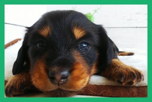 ミニチュアダックスフンド(ロング)の子犬(ID:1265411026)の2枚目の写真/更新日:2017-10-30