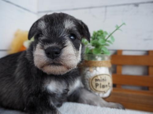 ミニチュアシュナウザーの子犬(ID:1265411028)の1枚目の写真/更新日:2017-12-29