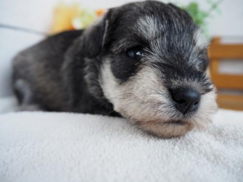 ミニチュアシュナウザーの子犬(ID:1265411028)の2枚目の写真/更新日:2017-12-29