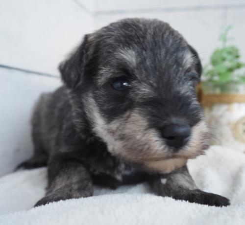 ミニチュアシュナウザーの子犬(ID:1265411029)の1枚目の写真/更新日:2019-03-25