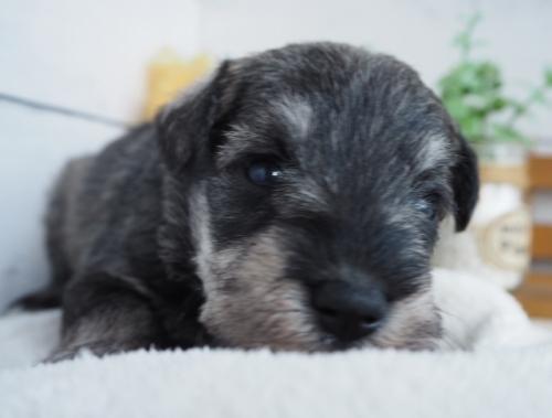 ミニチュアシュナウザーの子犬(ID:1265411029)の2枚目の写真/更新日:2019-03-25