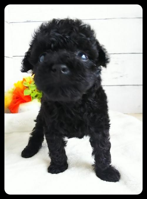 トイプードルの子犬(ID:1265411030)の2枚目の写真/更新日:2018-01-02
