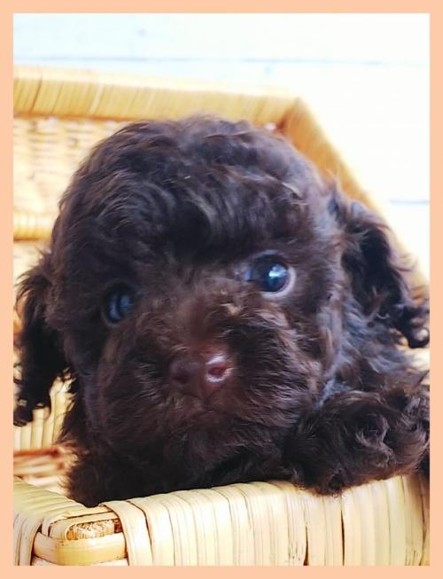 トイプードルの子犬(ID:1265411032)の1枚目の写真/更新日:2018-01-02