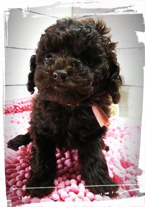 トイプードルの子犬(ID:1265411033)の1枚目の写真/更新日:2018-01-17