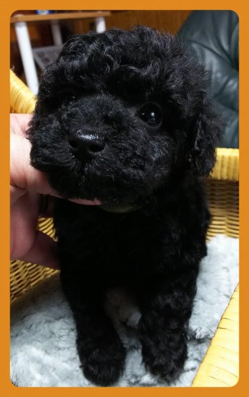 トイプードルの子犬(ID:1265411034)の1枚目の写真/更新日:2018-02-05