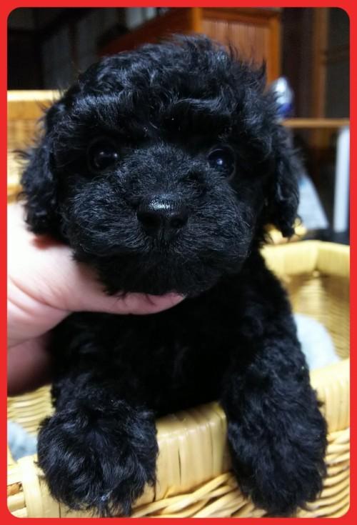 トイプードルの子犬(ID:1265411034)の2枚目の写真/更新日:2018-02-05