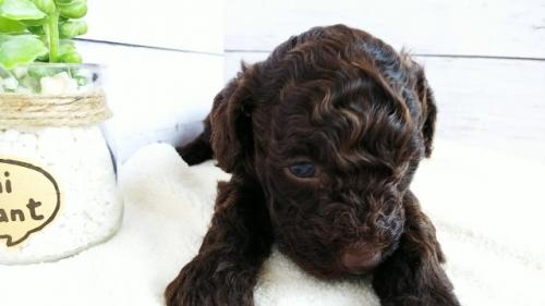 トイプードルの子犬(ID:1265411035)の2枚目の写真/更新日:2018-05-07