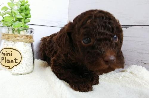 トイプードルの子犬(ID:1265411036)の2枚目の写真/更新日:2018-05-15