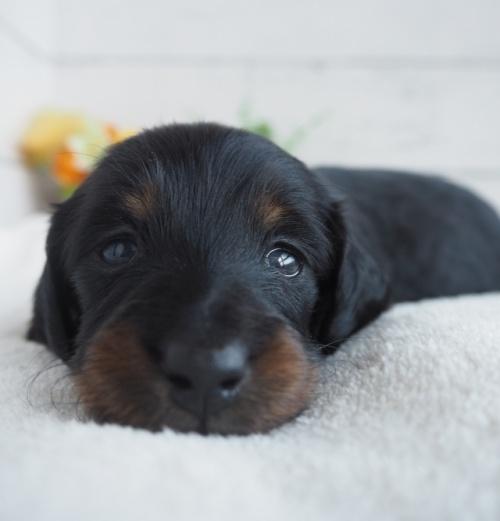 ミニチュアダックスフンド(ロング)の子犬(ID:1265411038)の1枚目の写真/更新日:2018-05-07