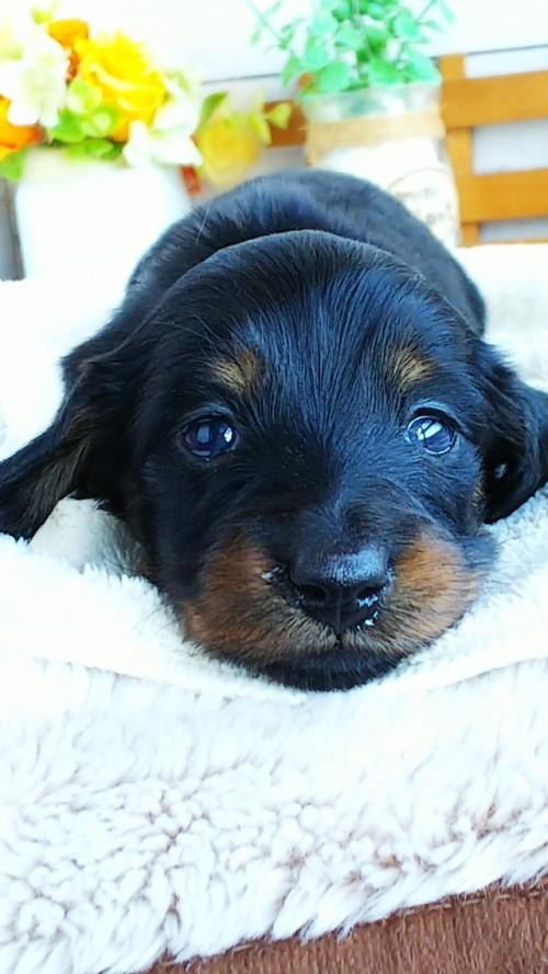 ミニチュアダックスフンド(ロング)の子犬(ID:1265411038)の2枚目の写真/更新日:2018-05-07