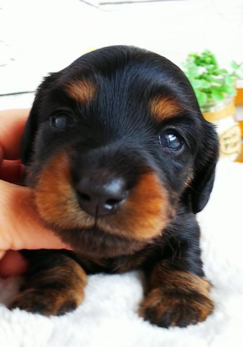 ミニチュアダックスフンド(ロング)の子犬(ID:1265411039)の1枚目の写真/更新日:2018-05-07