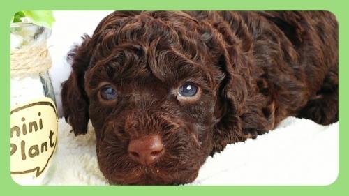 トイプードルの子犬(ID:1265411041)の3枚目の写真/更新日:2018-05-18