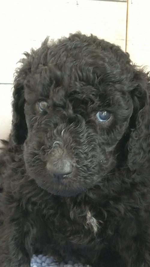 スタンダードプードルの子犬(ID:1265411042)の2枚目の写真/更新日:2019-01-03