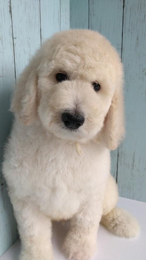 スタンダードプードルの子犬(ID:1265411043)の1枚目の写真/更新日:2019-01-03