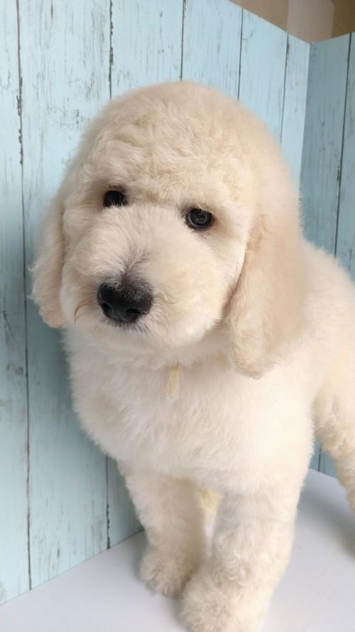 スタンダードプードルの子犬(ID:1265411043)の2枚目の写真/更新日:2019-01-03