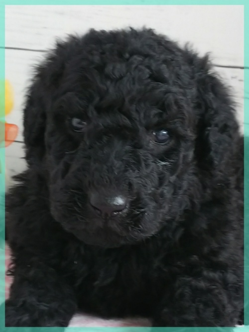 スタンダードプードルの子犬(ID:1265411044)の1枚目の写真/更新日:2019-01-04