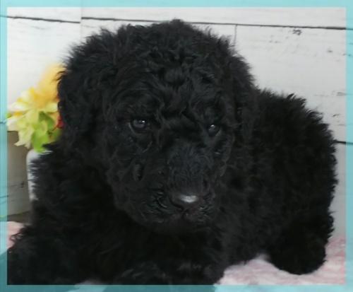 スタンダードプードルの子犬(ID:1265411044)の2枚目の写真/更新日:2019-01-04