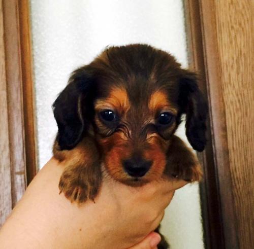 カニンヘンダックスフンド(ロング)の子犬(ID:1265611001)の1枚目の写真/更新日:2016-08-30