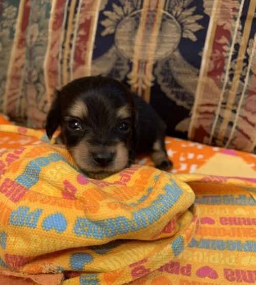 カニンヘンダックスフンド(ロング)の子犬(ID:1265611005)の1枚目の写真/更新日:2020-03-20