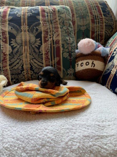 カニンヘンダックスフンド(ロング)の子犬(ID:1265611008)の1枚目の写真/更新日:2020-10-26