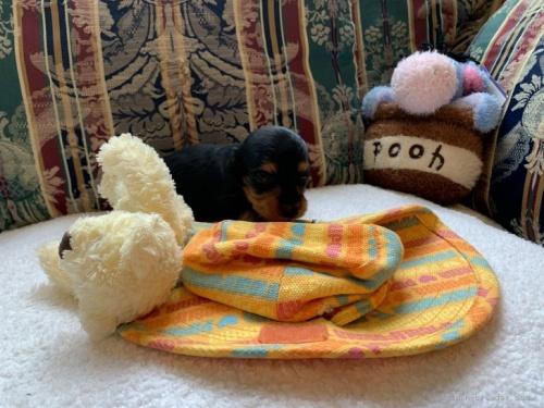 カニンヘンダックスフンド(ロング)の子犬(ID:1265611008)の2枚目の写真/更新日:2020-10-26