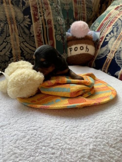 カニンヘンダックスフンド(ロング)の子犬(ID:1265611008)の3枚目の写真/更新日:2020-10-26