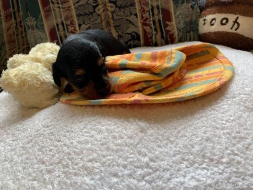 カニンヘンダックスフンド(ロング)の子犬(ID:1265611008)の4枚目の写真/更新日:2020-10-26