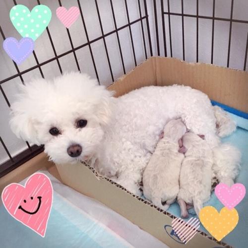 トイプードルの子犬(ID:1266111006)の5枚目の写真/更新日:2017-05-28