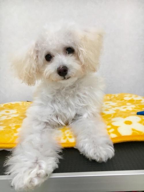 トイプードルの子犬(ID:1266111007)の2枚目の写真/更新日:2017-09-06