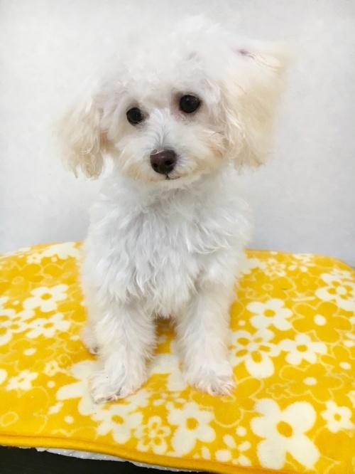 トイプードルの子犬(ID:1266111007)の4枚目の写真/更新日:2017-06-13