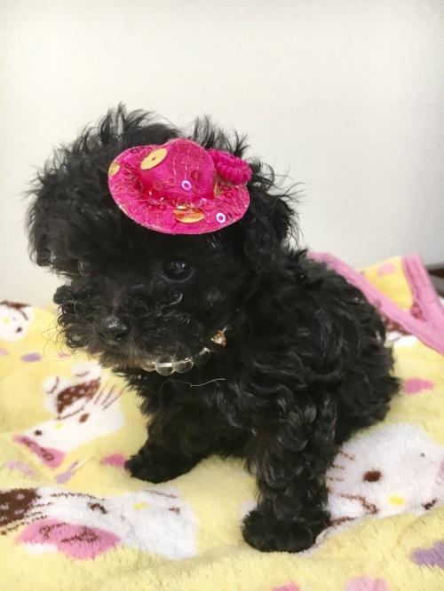トイプードルの子犬(ID:1266111008)の1枚目の写真/更新日:2017-10-19