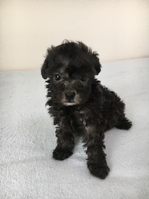 トイプードルの子犬(ID:1266111009)の3枚目の写真/更新日:2017-10-10