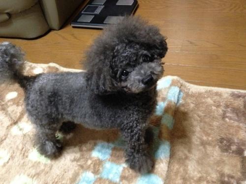 トイプードルの子犬(ID:1266111009)の4枚目の写真/更新日:2017-10-03