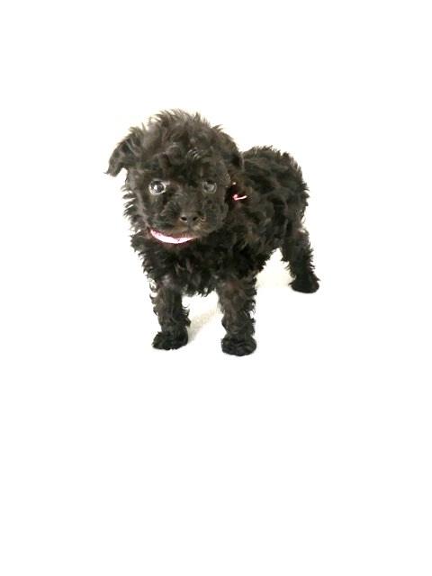トイプードルの子犬(ID:1266111010)の1枚目の写真/更新日:2017-10-10