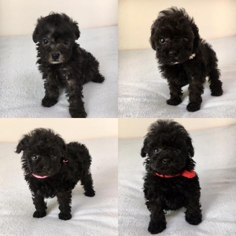 トイプードルの子犬(ID:1266111010)の4枚目の写真/更新日:2017-10-10
