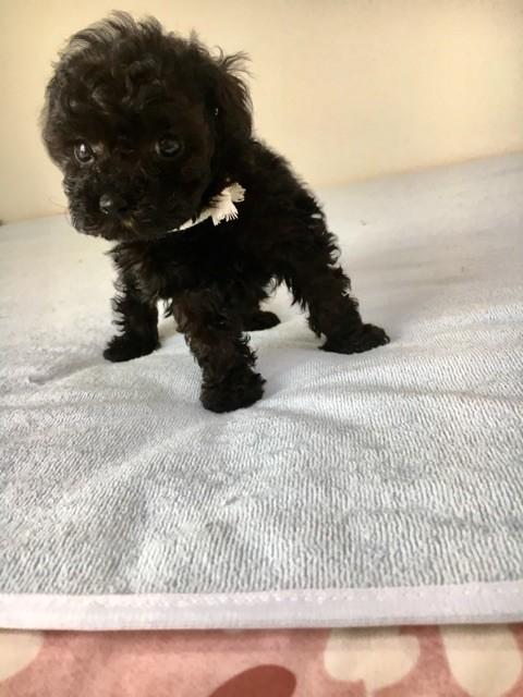 トイプードルの子犬(ID:1266111011)の2枚目の写真/更新日:2017-10-10