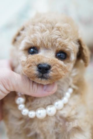 トイプードルの子犬(ID:1266111012)の1枚目の写真/更新日:2017-11-04