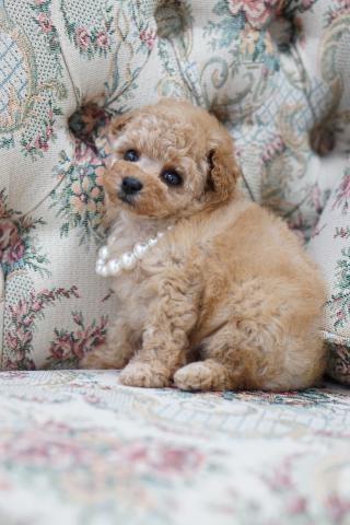 トイプードルの子犬(ID:1266111012)の2枚目の写真/更新日:2017-11-04