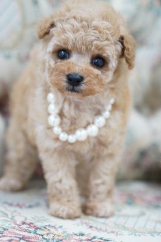 トイプードルの子犬(ID:1266111012)の3枚目の写真/更新日:2017-11-04
