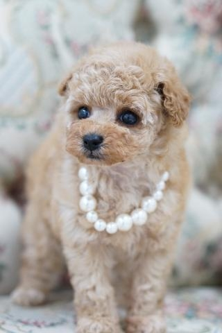 トイプードルの子犬(ID:1266111012)の4枚目の写真/更新日:2017-11-04