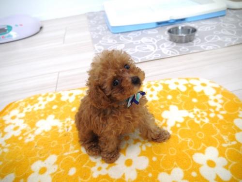 トイプードルの子犬(ID:1266111013)の3枚目の写真/更新日:2017-11-04