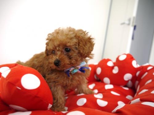 トイプードルの子犬(ID:1266111013)の4枚目の写真/更新日:2017-11-04