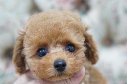 トイプードルの子犬(ID:1266111014)の2枚目の写真/更新日:2018-01-08