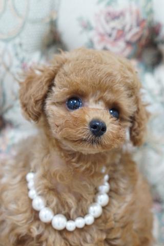 トイプードルの子犬(ID:1266111014)の5枚目の写真/更新日:2018-01-08