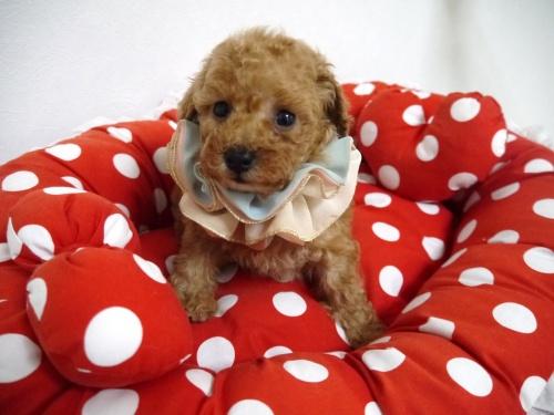 トイプードルの子犬(ID:1266111015)の1枚目の写真/更新日:2018-01-08