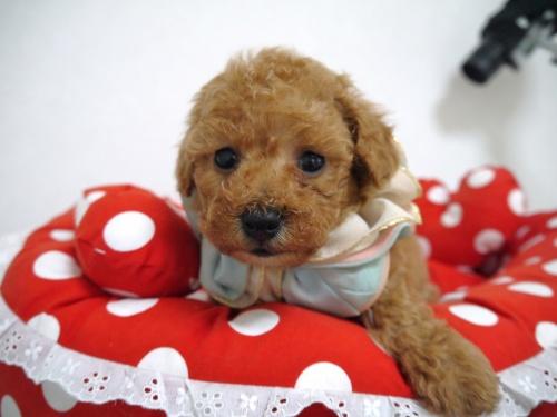トイプードルの子犬(ID:1266111015)の2枚目の写真/更新日:2018-01-08