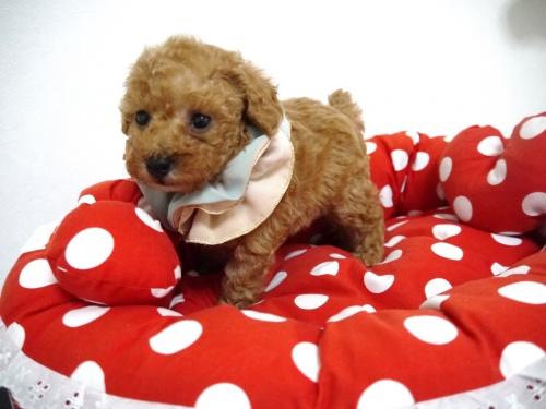 トイプードルの子犬(ID:1266111015)の3枚目の写真/更新日:2018-01-08